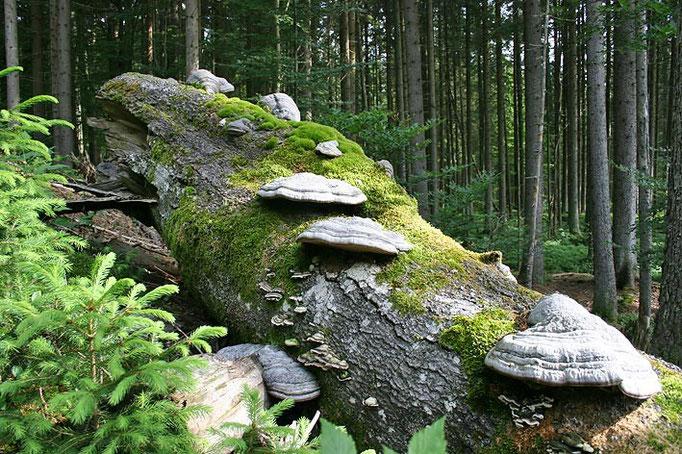 Nationalpark Bayerischer Wald (Foto Pöhlmann): Buche mit Baumpilzen