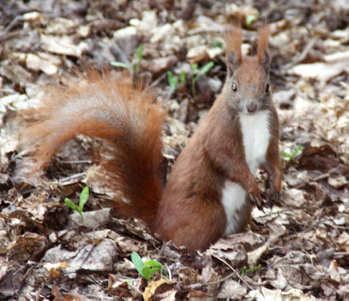 Eichhörnchen am Waldboden voll Laub im Schlosspark Charlottenburg. Foto: Helga Karl