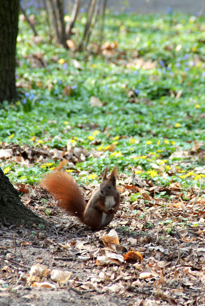 Eichhörnchen am Waldboden im April im Schlossgarten Charlottenburg. Foto: Helga Karl
