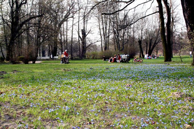 Wiese voll blauer Blüten im April, Menschen sitzen auf dem Boden oder gehen auf dem Weg spazieren im Naturgarten Schloss Charlottenburg. Foto: Helga Karl