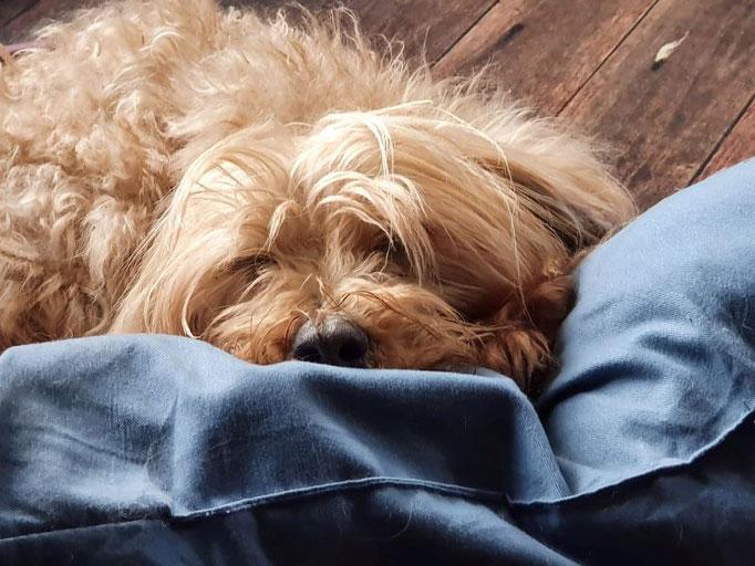 Tibis brauchen immer ein Kissen