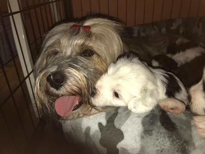 Li-na  (H) mit Söhnchen Than-ju (Arundhati Tibet Terrier)