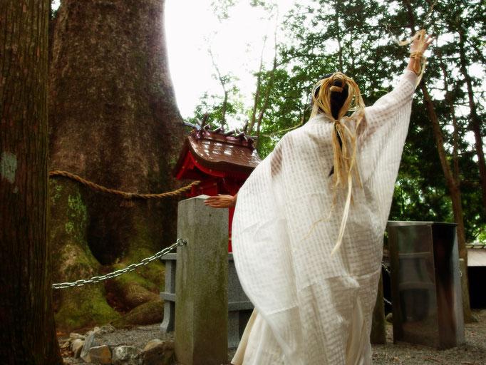 三重県松阪市 水屋神社 2013/10/1 水屋の大楠  県天然記念物  樹齢千年