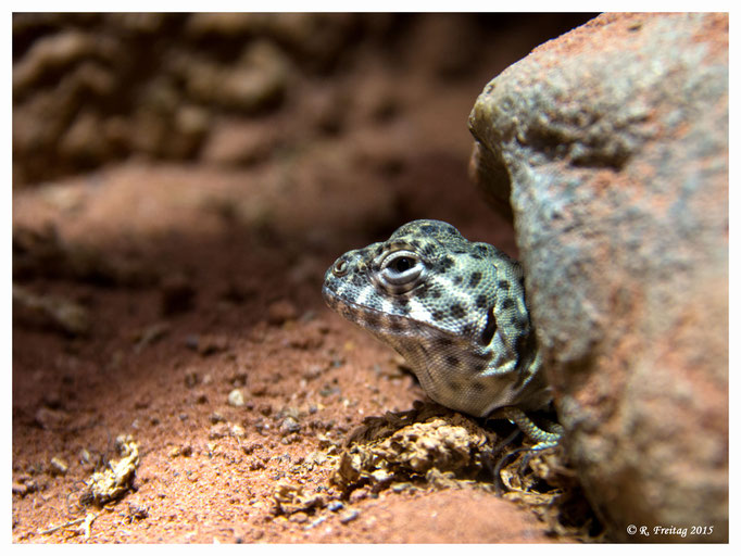 Gecko (2809)