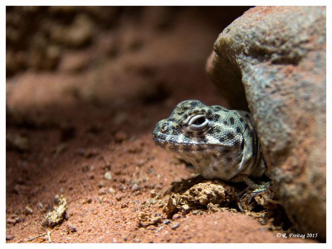 Gecko (2827)