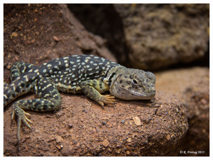 Gecko (2822)
