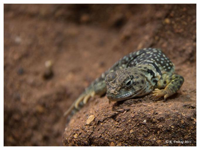 Gecko (2825)
