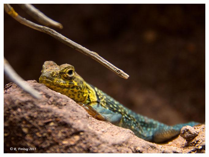 Gecko (2820)