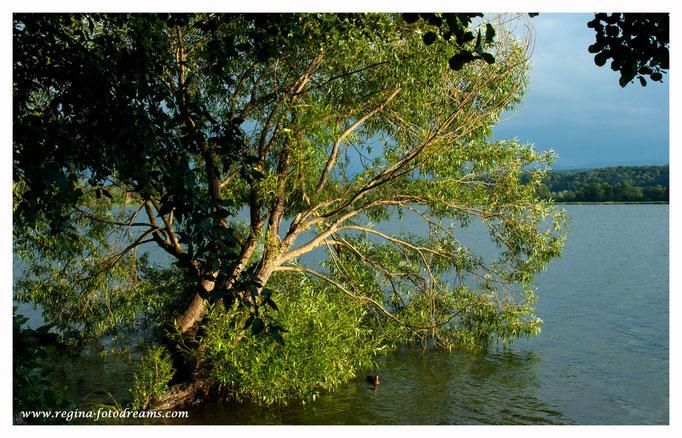 Baum hängt in den Greifensee (9050)