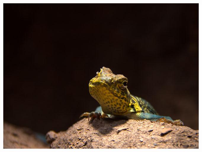 Gecko (2814)
