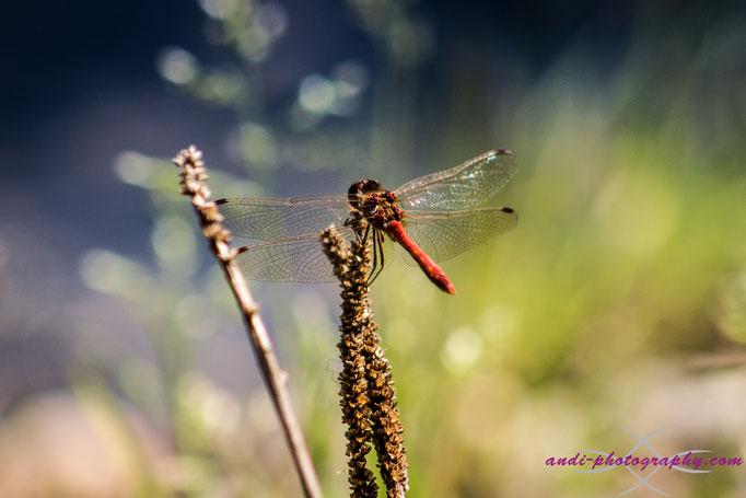 Libelle am Ausee