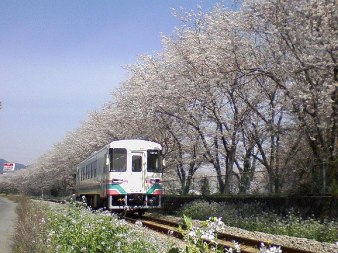 桜並木を走る甘木鉄道AR301