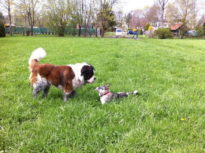 Auch grosse Hunde spielen gern
