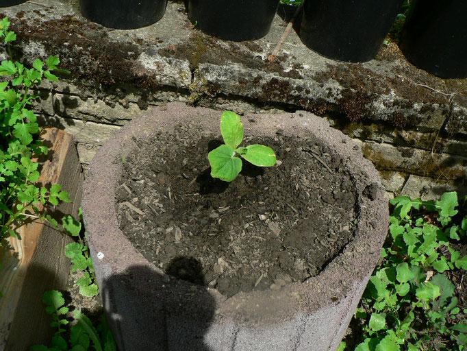 Die Hokaido-Kürbisse sind auch eingepflanzt.