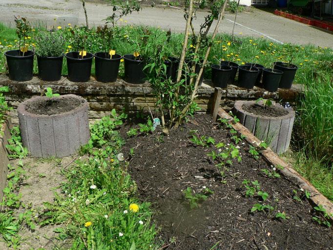Vier Kübel insgesamt. Und drei Pflanzen hab ich noch über. eine geht an die Freie Schule Weserbergland. Zwei will ich noch auf die Feuchtwiese bringen...