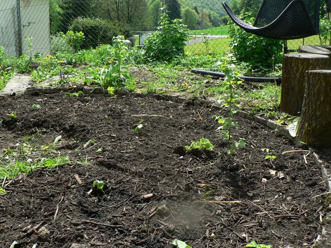 Das Rudnbeet ist neben den Johannisbeersträuchern nun auch mit Freilandgurken und Zucchini bepflanzt. Und anders als im letzten Jahr, stehen die Pflanzen noch immer. Keine Schnecke weit und breit...