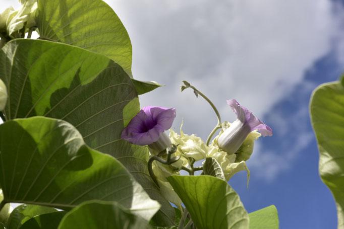 Blumen auf Barbados