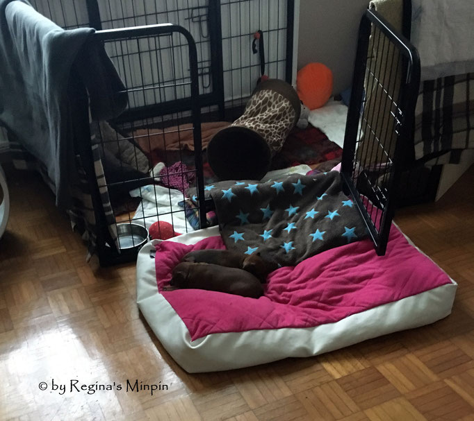 Ausflüge machen müde und beide schlafen vor dem sicheren Welpenbereich friedlich ein. Mami liegt im Welpenbereich und findet das nicht so lustig. <3