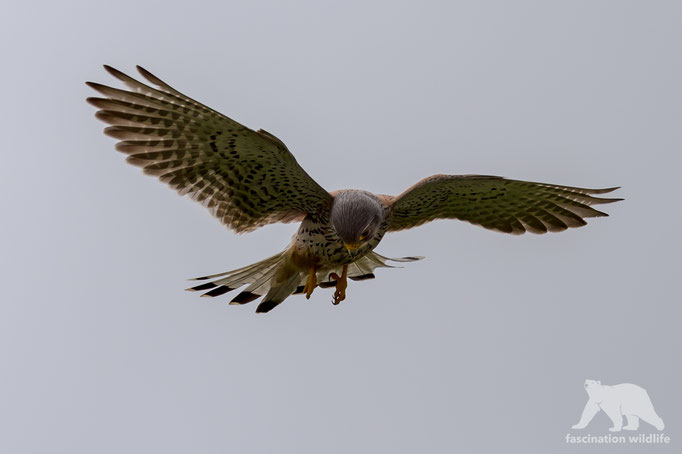 european kestrel (falco tinnunculus)
