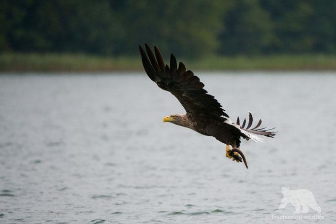 white tailed eagle ( haliaeetus albicilla)