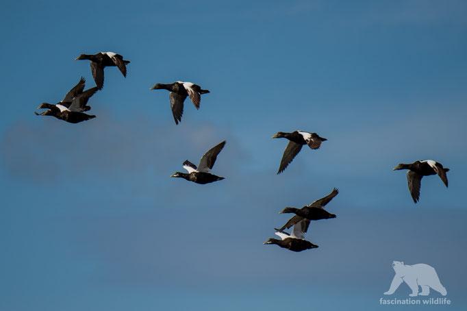 eider ducks (somateria mollissima)
