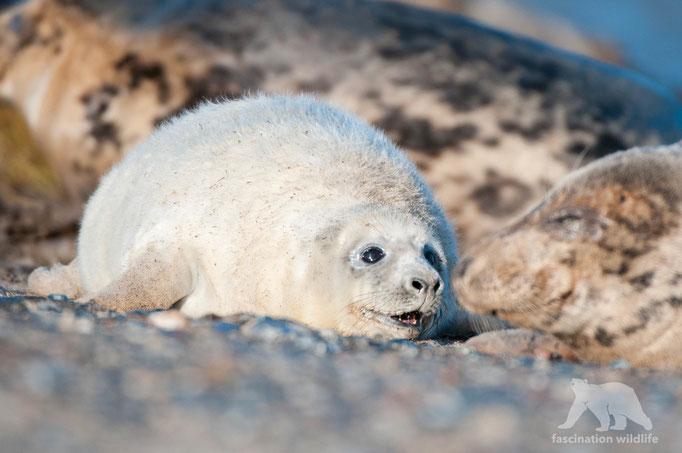 gray seal (halichoerus grypus)