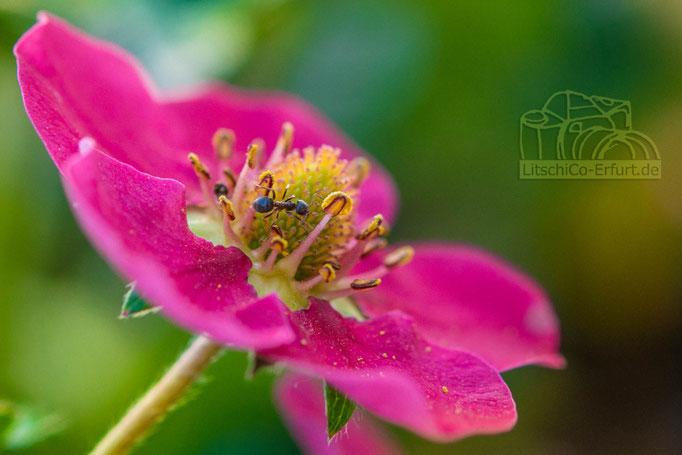 Ameise auf einer Erdbeerblüte