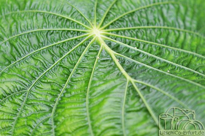 Blatt der Pfefferpflanze