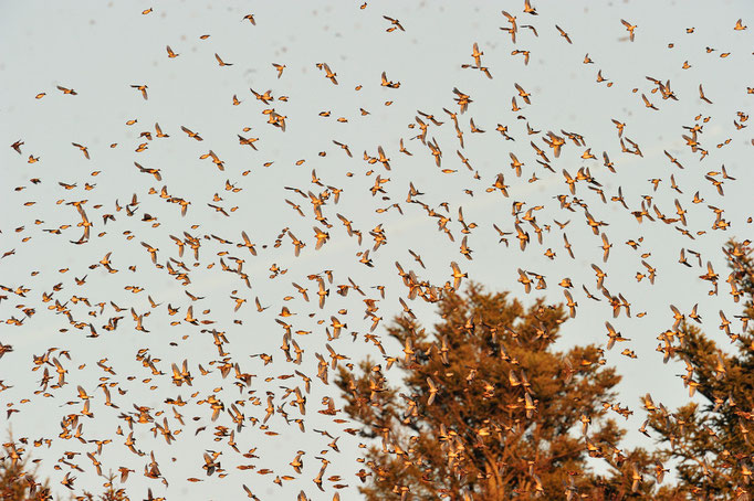 Bergfink oder Nordfink (Fringilla montifringilla); Vendlincourt; 01-14-12