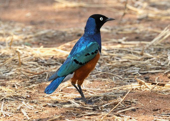 Dreifarben Glanzstar (Afrika)