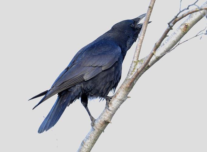 Rabenkrähe (Corvus corone corone); Champ Pittet