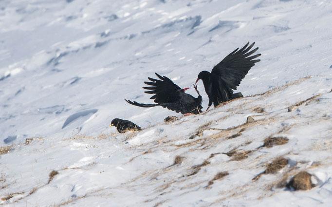 Alpenkrähen (Pyrrhocorax pyrrhocorax) im Zweikampf; (Schiri: Alpendohle)
