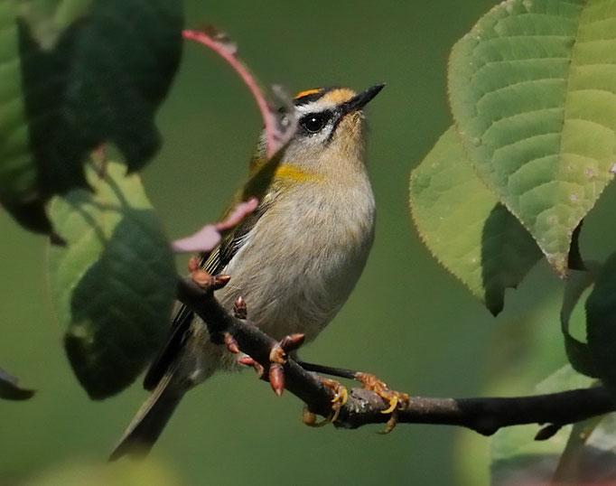 Sommergoldhähnchen (Regulus ignicapillus), La Sauge; 25-9-11 [kleinster Vogel der Schweiz]