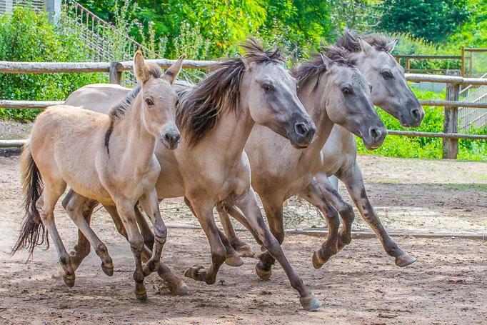Steppentarpan - Abbildzüchtung, Equus ferus gmelini - Zoo Saarbrücken