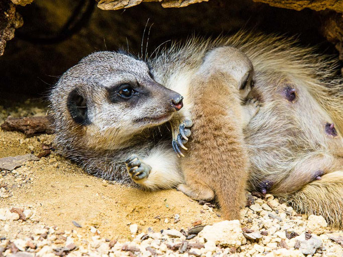 Erdmännchen beim Säugen - Suricttaata surica - Zoo Saarbrücken