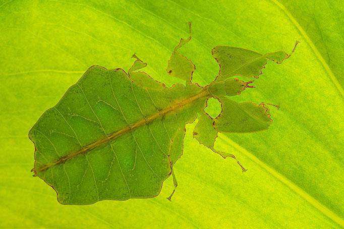 Großes Wandelndes Blatt - Phyllium giganteum