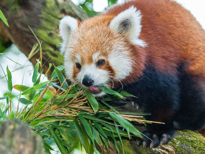 Kleine Panda (Ailurus fulgens), auch Roter Panda, Feuerfuchs oder Goldhund - Zoo Saarbrücken