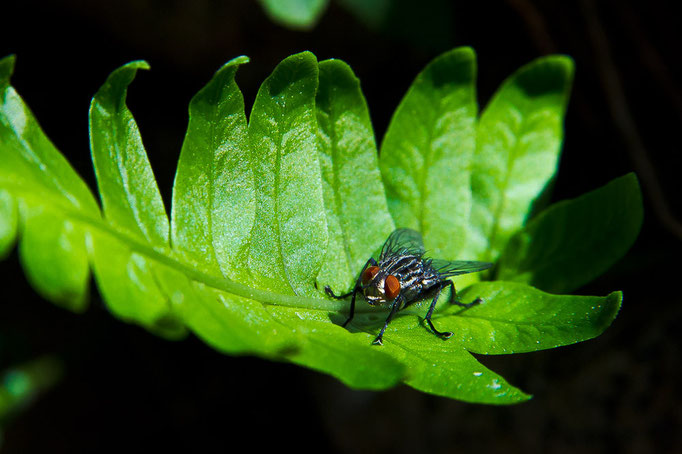 Fliege auf Farn