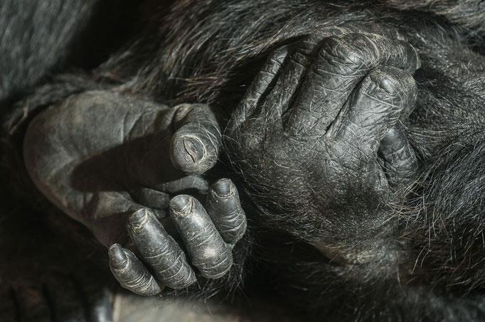 Hand & Fuss - Gemeiner Schimpanse - Pan troglodytes - Zoo Saarbrücken