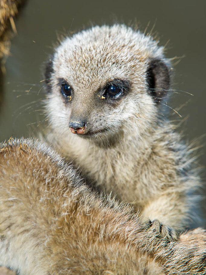 Erdmännchen - Jungtier - Suricttaata surica - Zoo Saarbrücken