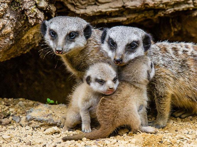 Erdmännchen mit Jungtieren - Suricttaata surica - Zoo Saarbrücken