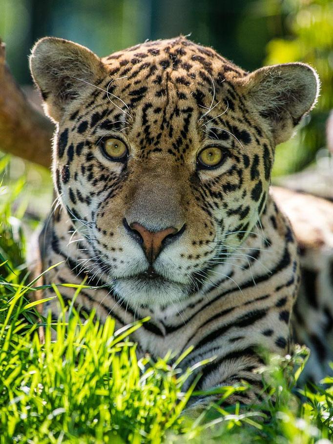 Kater Badajos - Jaguar - Panthera onca - Zoo Saarbrücken