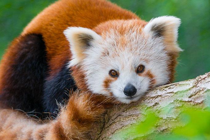 Kleiner Panda (Ailurus fulgens), auch Roter Panda, Feuerfuchs oder Goldhund - Zoo Saarbrücken