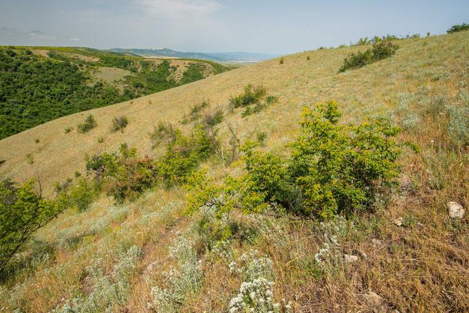 Habitat of Vipera renardi eriwanensis 'shemakhensis' in eastern Georgia