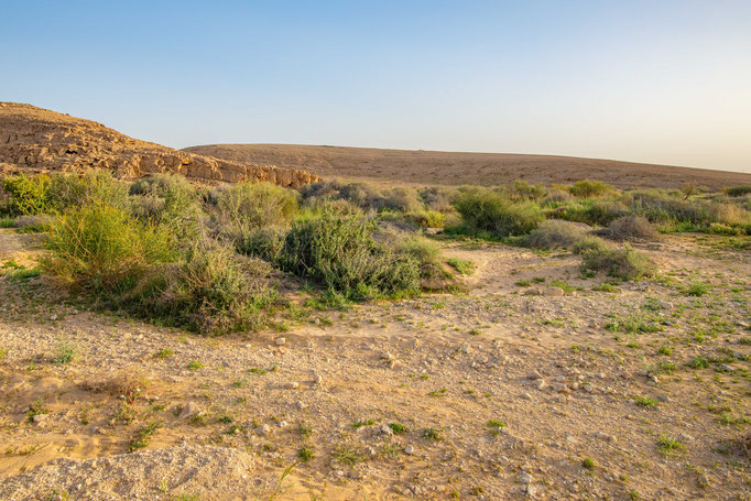 Habitat of Echis colorauts in southern Israel