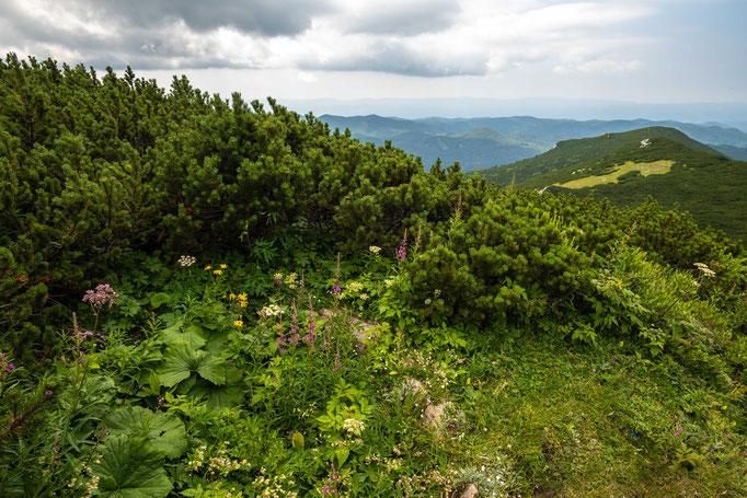 Habitat of Vipera berus berus 'marasso' in southern Slovenia