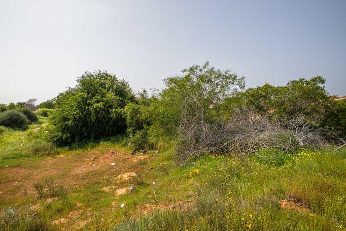Habitat of Daboia palaestinae in coastal Israel