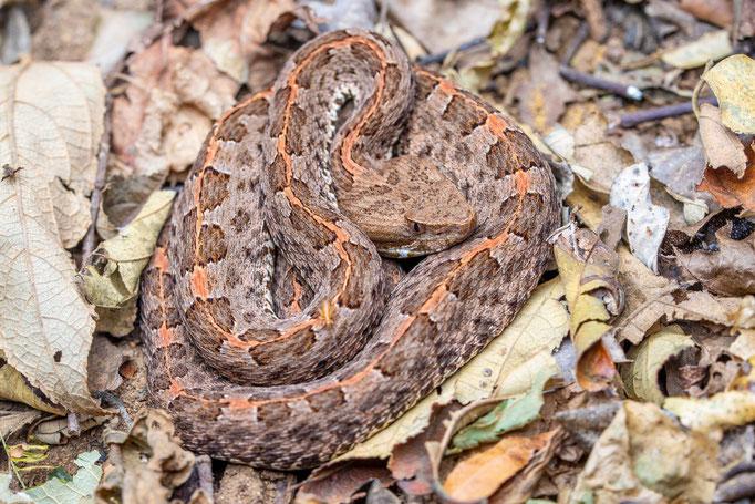 Porthidium ophryomegas, Costa Rica