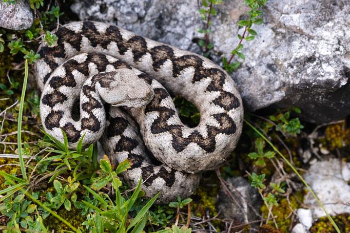 Vipera ammodytes ammodytes, Slovenia