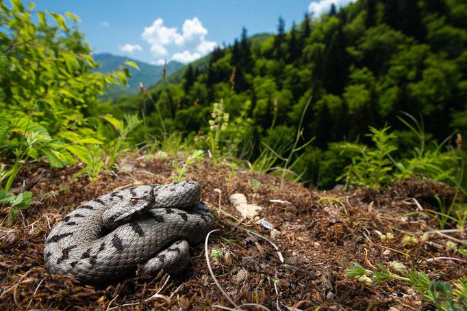 Vipera ammodytes transcaucasiana, Georgia